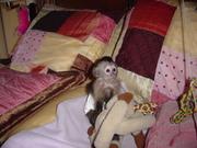 Adorable Capuchin Monkey - 18 Weeks Old