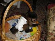 Sweet And Cute Female Baby Capuchin Monkey For Free Adoption