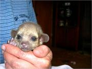 2 MONTHS OLD BABY KINKAJOU FOR SALE