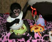 nice looking spider monkey for adoption.