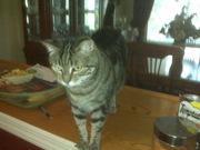 Free mature Female Tabby Cat -lovable