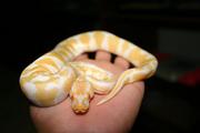 1.1Piebald ball and albino pythons for sale
