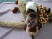 Help complete your family with the addition of a special baby monkeys.