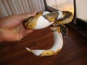 1.2 Piebald Ball Python for sale