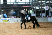 champion racing friesian geldings available