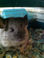 Chinchillas-two females-come as a pair