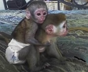 Intelligent Male and Female baby Capuchin monkeys for Adoption both male/female