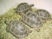 Four pairs of Sulcata and Aldabara tortoises for sale