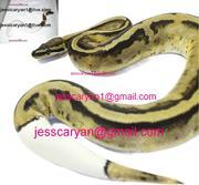 king-snake Ball , Piebald and Albino pythons for adoption