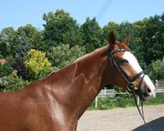 Well trained Anglo Arab horse for adoption