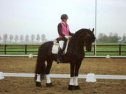 6 yr old STER gelding  for sa; e