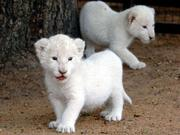 White lion cubs and Tiger cubs for sale