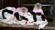 CUTE BABY CAPUCHIN MONKEY'S FOR ADOPTION (butterflyhome@msn.com)