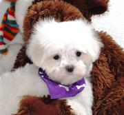 playful maltese puppies for adoption