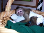 adorable baby capuchin monkey