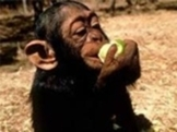 Adorable playable baby female chimpanzee monkey for sell.