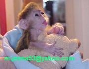 Well Tamed Home Raise Capuchin Baby Monkeys