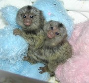 Pygmy Marmoset Monkeys For  Adoption