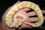 piebalds and albino pythons for adoption