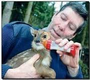Muntjac Deer for adoption