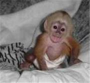 available lovely and tamed capuchin monkey for a good home