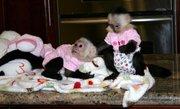 Pair Capuchin Monkeys For Adoption