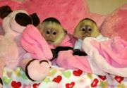 Adorable Twin babies capuchin monkeys