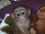 Intelligent Baby Capuchin Monkeys For Adoption