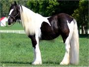 Outstanding Gypsy Vanner Horse For Adoption