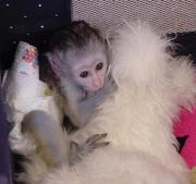 admirable male and female baby capunchin monkey