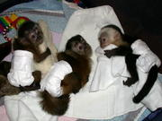 X-MASS CAPUCHIN MONKEY FOR YOUR HOME