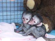 Tamed Capuchin Monkeys For Free  Adoption.