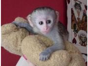 cute baby capuchin monkeys