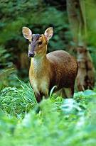 Muntjac Deers for sale